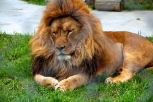 darica-hayvanat-bahcesinin-muhtari-aslan-duruk-oldu-cha-1387908-1-t